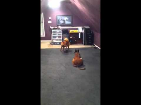 6 month old Finnish Spitz takes on Malinois | On The Ball K