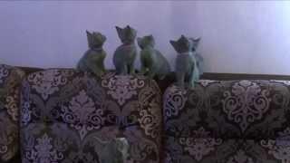 Прикольные котята. Видео о русских голубых кошках