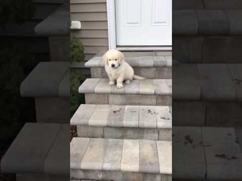Golden Retriever Puppy Trying To Go Down Stairs!