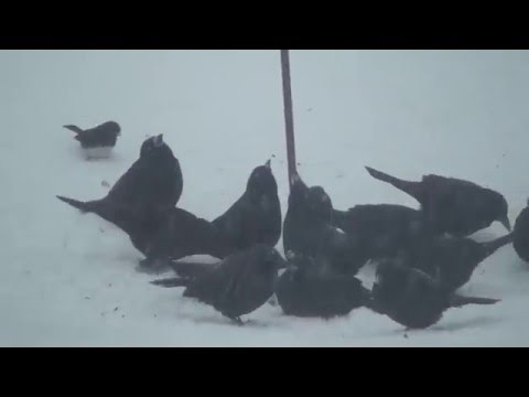 Winter Storm Jonas - Southeastern Pennsylvania - Birds