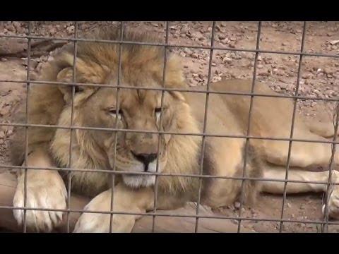 Massive Jungle Cats Devouring Steak  - The Capital Zoo