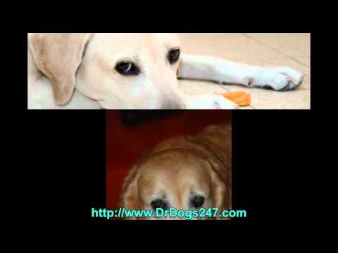 Ear Infection Treatment For Golden Retrievers.mp4 - YouTube Ear Mites In Golden Retrievers