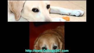 Ear Infection Treatment For Golden Retrievers.mp4