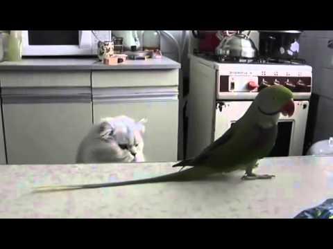Попугай трясет хвостом перед котом