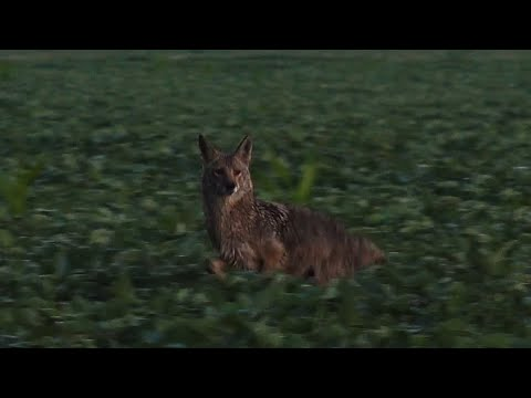 Top Notch Coyote Hunting