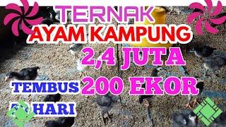 Ayam Kampung Panen 50 Hari Bobot 0,8 KG
