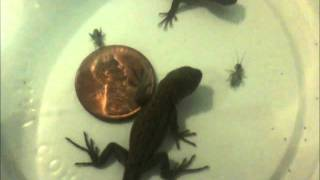 Baby Fence Lizards' First Food