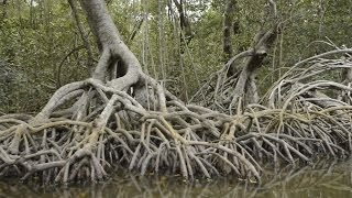 """Habitat"" Episode 1- Sustainable Mangrove Silviculture (Ejido ""Everyone is the Solution"")"
