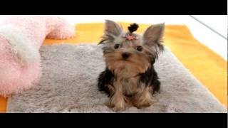 Teacup Size Yorkshire Terrier For Sale.