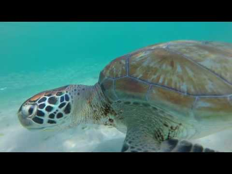 Snorkeling with turtles and rays in Barbados link: https://youtu.be/DIBEnui2RYE