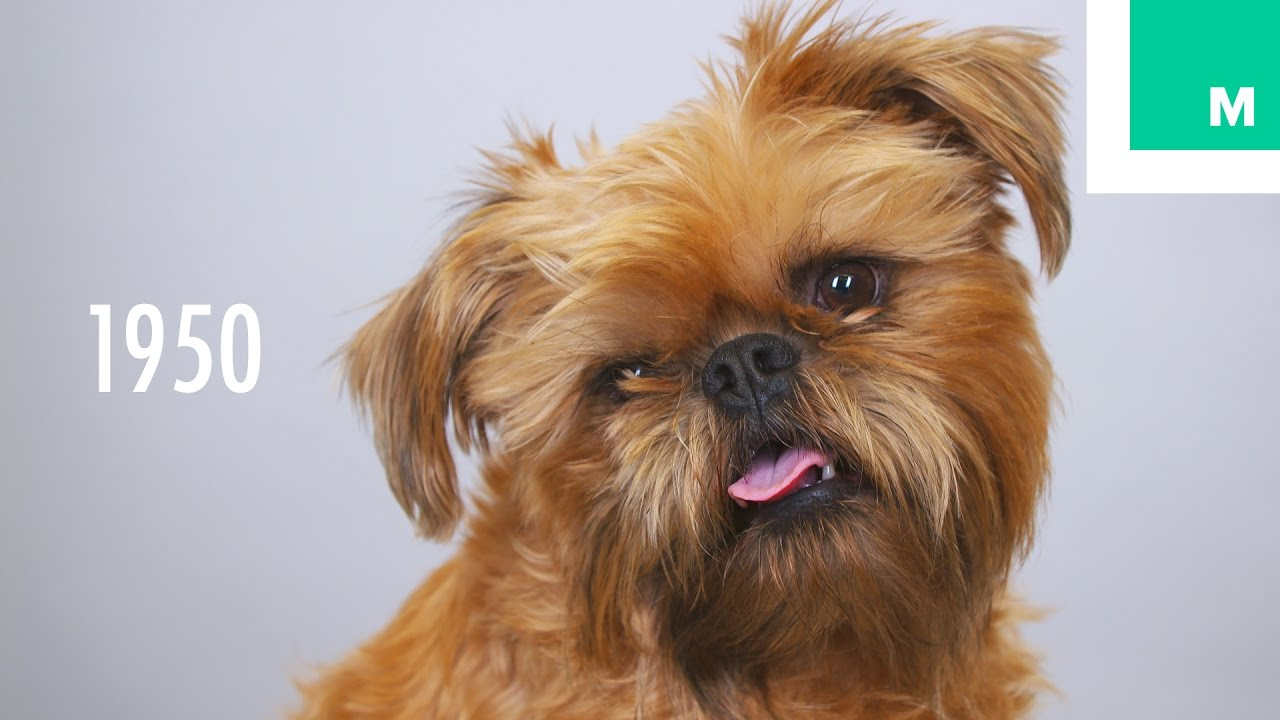 100 years of brussels griffon beauty in 60 seconds youtube