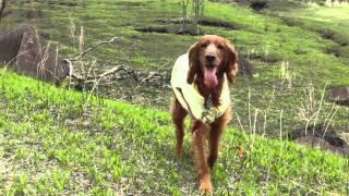 春の高原でアイリッシュ・セターのティナと追いかけっこ♪ 曇り空でした...
