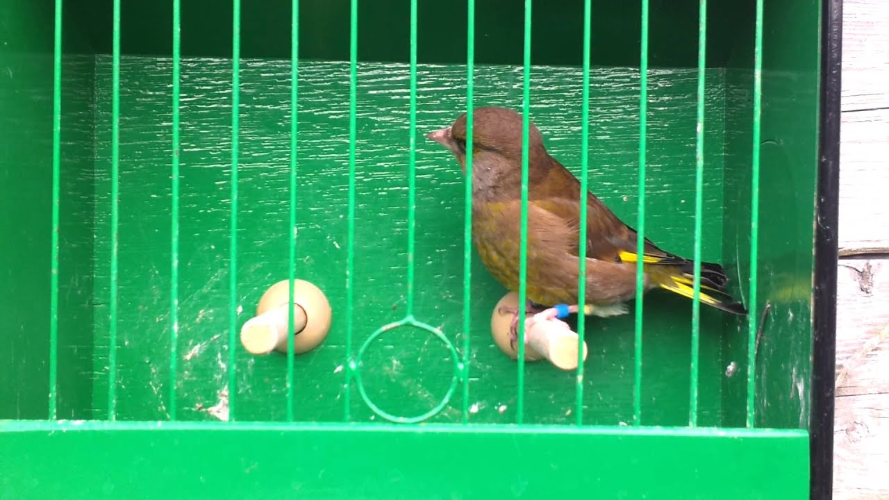 2014 Breeding Greenfinches - YouTube