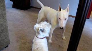 Bull Terrier Vs. Westie 2