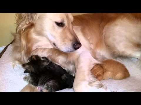 Golden Retriever Fosters Kittens
