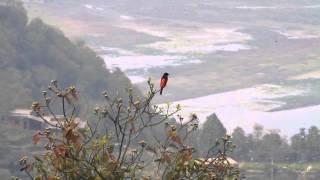 ikarabi野鳥動画 ヒイロサンショウクイ scarlet minivet