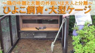 ひよこ飼育38・大型ケージ~ニワトリの中雛と大雛の外飼いは大人と分離~ thumbnail