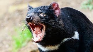 Ce diable de Tasmanie va te faire peur - ZAPPING SAUVAGE