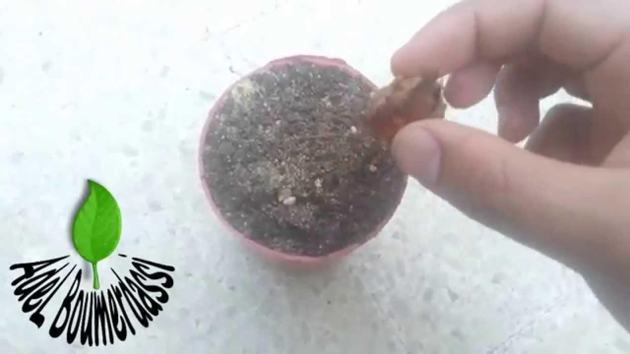 Comment planter l 39 oignon petit cycas youtube for Planter oignon
