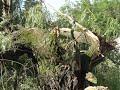 Beltrami, Clearwater Counties Seek State Aid For Wind Damage