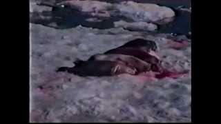 Охота на нерпу(Учёные входят в число добытчиков нерпы, так как физическое уничтожение животных по-прежнему остаётся одним..., 2014-03-03T11:48:52.000Z)