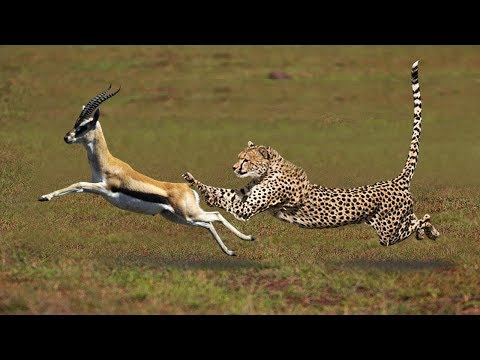 Most Amazing Big Cats Hunting Attack Compilation   Cheetah L