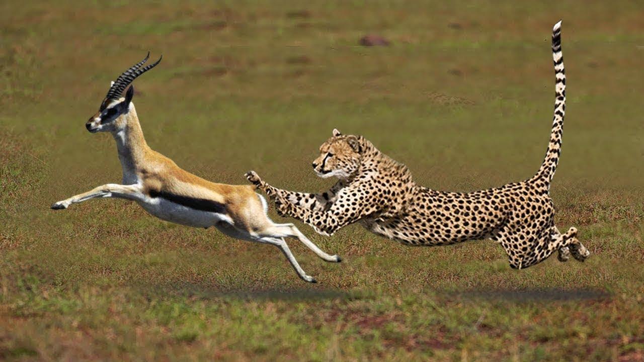 Download Most Amazing Big Cats Hunting Attack Compilation   Cheetah Lions Jaguar Leopard