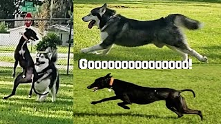 Funny Malamute Challenges Greyhound To A Race!