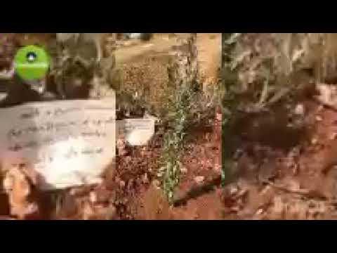 plastine a été planté un arbre Oliver dans la terre occupé portent le nom de Cheikh M Mahi I Niass .