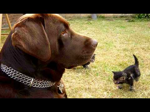 Thumbnail for Cat Video Chocolate Labrador Plays with Kitten