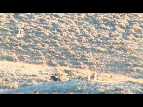 Wolves Howling in Yellowstone  - 8 Mile Wolf Pack