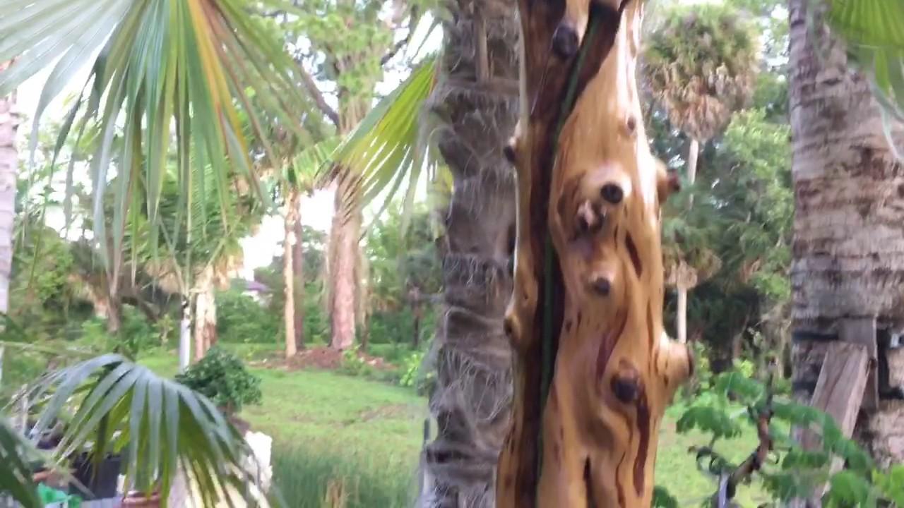 Money Tree Bonsai Etc Part 1 Youtube