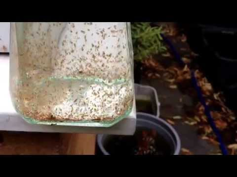 Culturing Live Food For Tropical Fish In The Garden. Water - Fleas Louse And Shrimp.