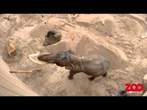 Hø i højden - elefanter på snabelarbejde | Copenhagen Zoo