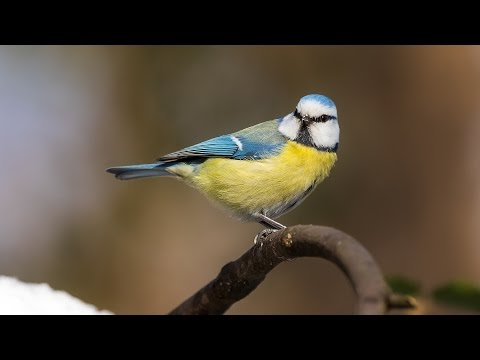 Alarm call behaviour in Birds: Blue Tit anti-predator behaviour
