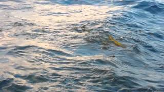 Commercial Fishing for yellowtail.....