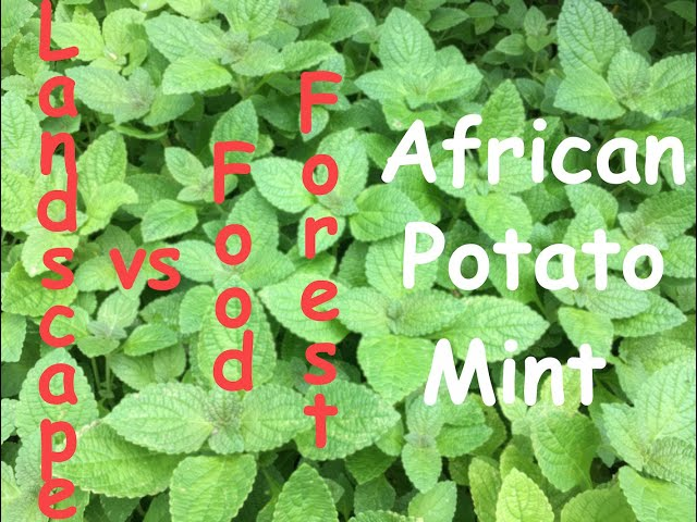 Landscape vs Food Forest. Episode 2 - African Potato Mint