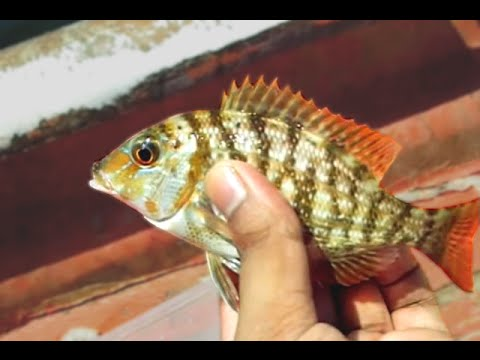 Stunning Porgy fishes caught in Arabian Sea