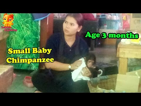 Small Baby Chimpanzee : Age 3 Months  @Samutprakarn Zoo