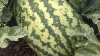 видео Фрукты, ягоды, бахчевые
