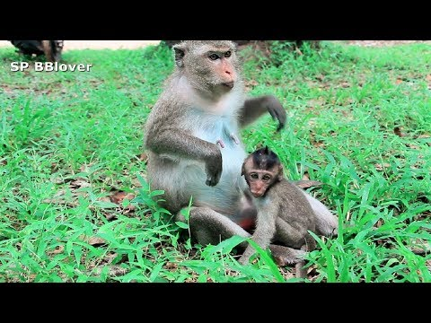 Nat Geo - Mother monkeys attack the kidnappers to protect their children - Wildlife Animals