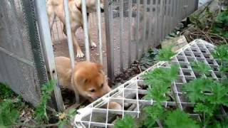 脱出を計る山陰柴犬の子犬.
