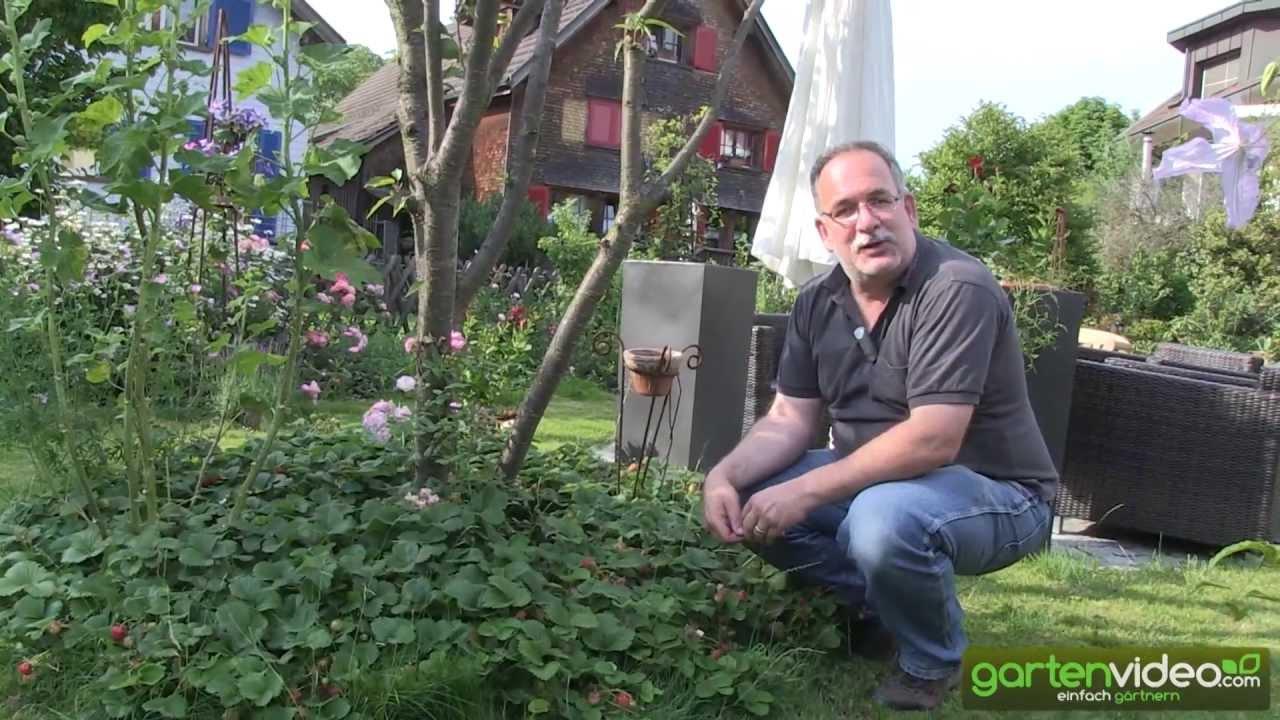 erdbeerwiese schweizerherz erdbeeren als bodendecker. Black Bedroom Furniture Sets. Home Design Ideas