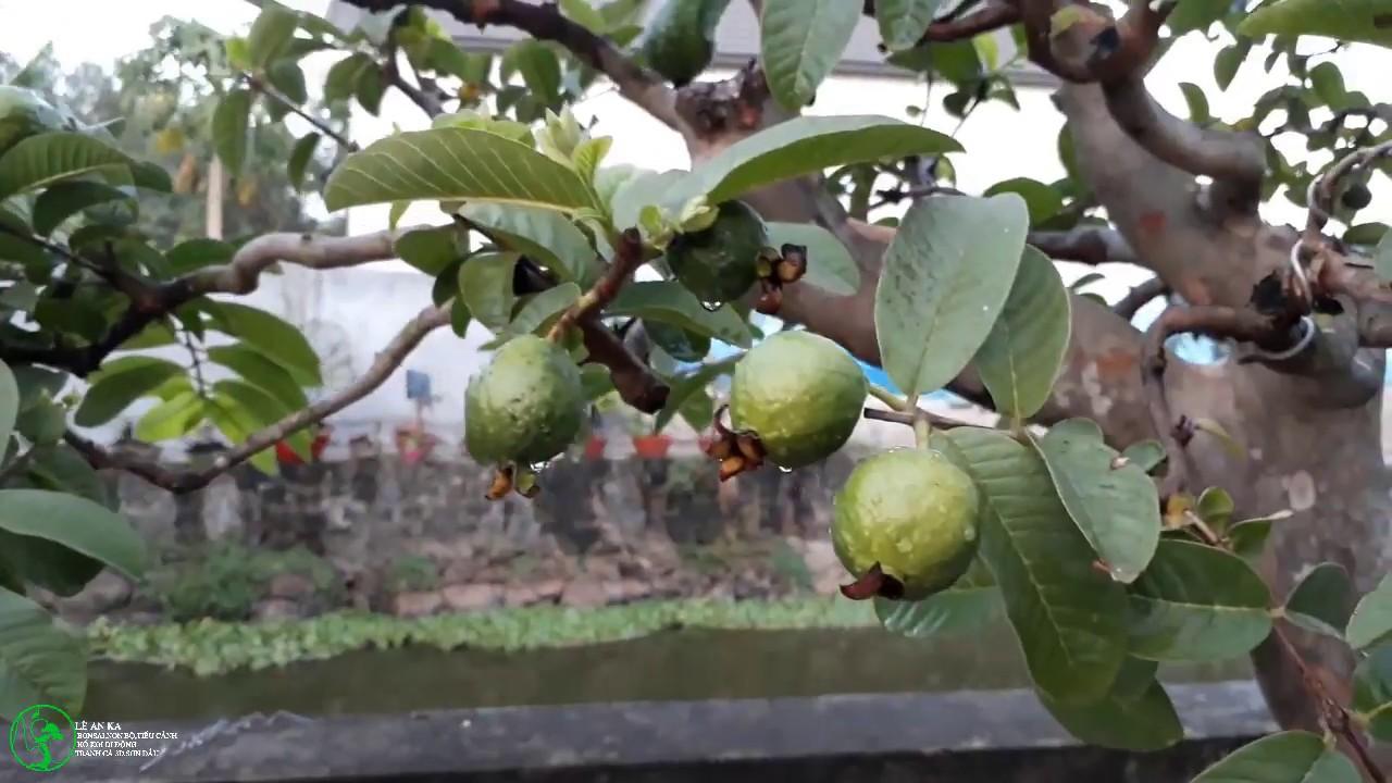 quá trình nuôi và tạo tác một cây ổi rừng bonsai