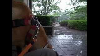 散歩途中で急な雨。 雷も恐く無い「ねね」は退屈しのぎに・・・。