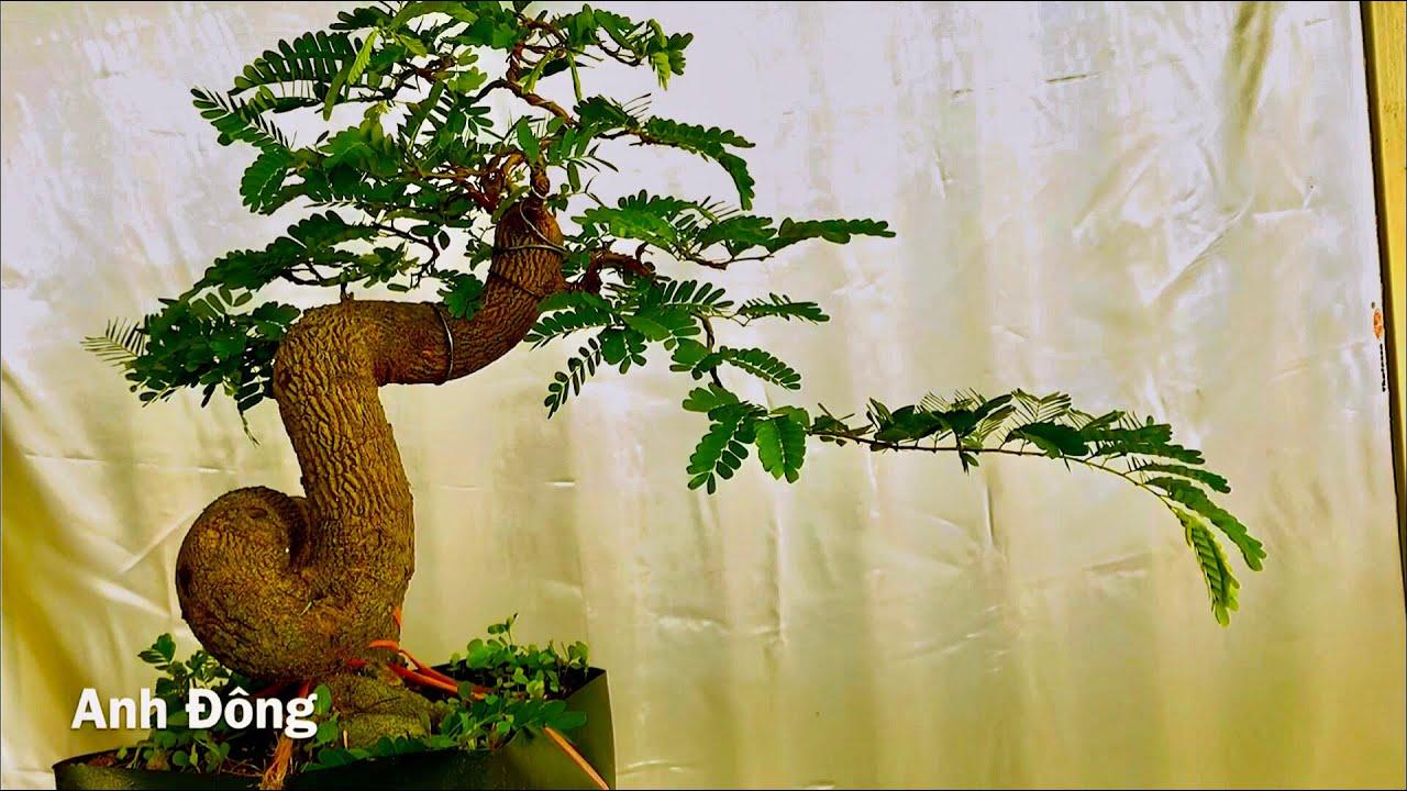 Cách uốn cây bonsai dựa trên nguyên tắc cơ bản
