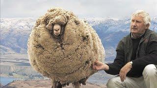 Bu Koyun Kırpılmamak İçin Dağa Kaçtı, 6 Yıl Sonra Döndüğünde İse Büyük Sürpriz Oldu.