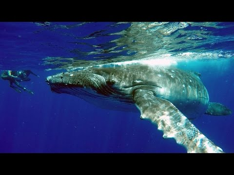 Tonga Humpback Whales HD 1080 GoPro4