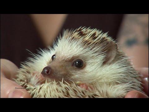 Tokyo Hedgehog Cafe is Everything