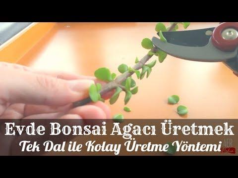 Bonsai Ağacı Nasıl Yetiştirilir? Evde Bonsai Bitkisi Bakımı ve Dikimi Nasıl Yapılır, Çoğaltılır?